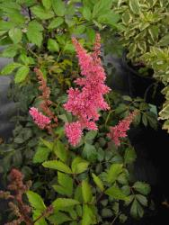Astilbe X arendsii rouge