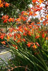 Crocosmia masoniorum