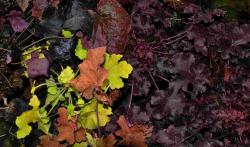 Heuchera 'newest hybrids'