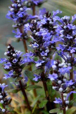 Ajuga reptans 'Chocolate chips'