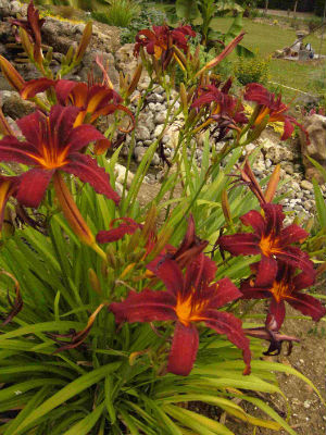 Hemerocallis Crimson glory