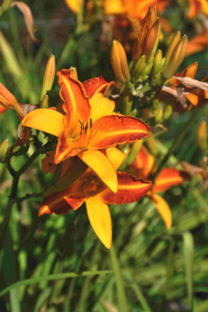 Hemerocallis Bold Courtier