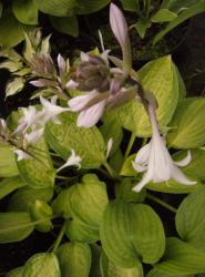 Hosta Julie Moorse