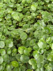 plante aquatique a petites feuilles rondes