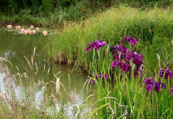 Iris kaempferi Flérial