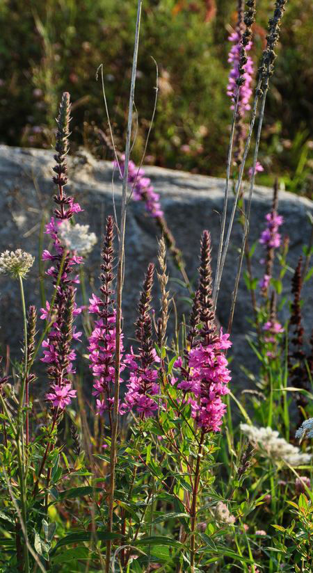 Lythrum salicaria 'Flérial select'