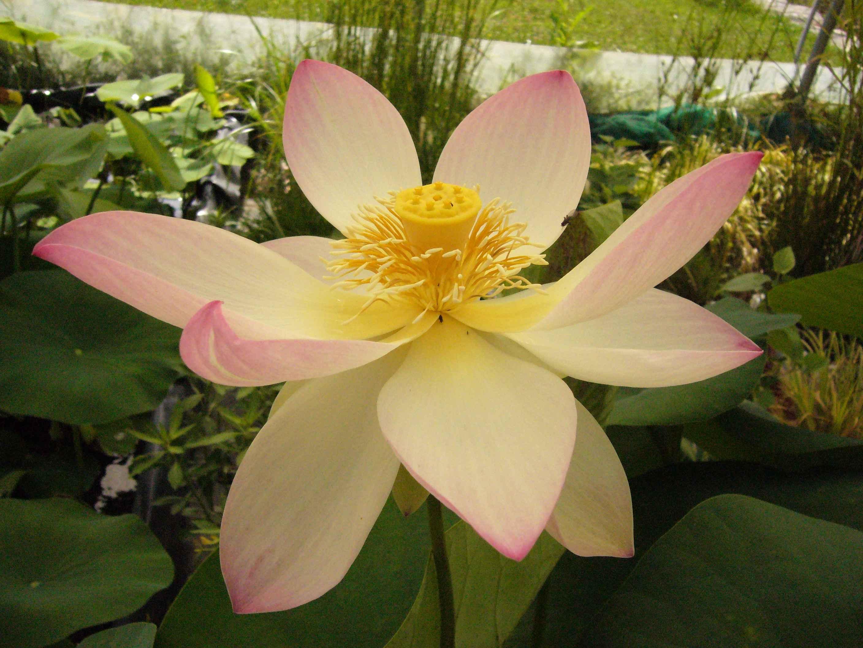 lotus ouvert